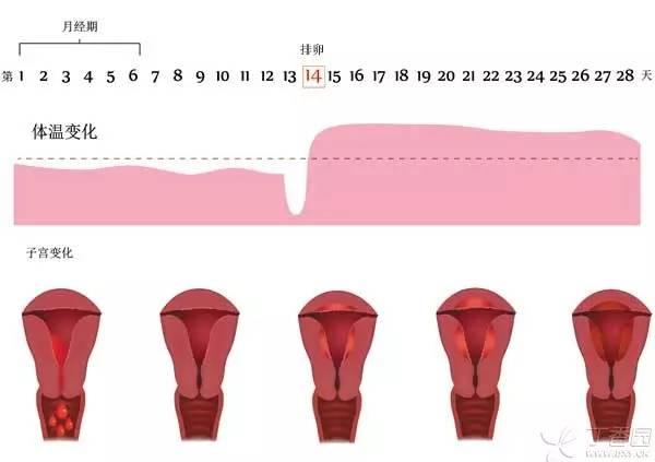 月经周期的体温变化:排卵前体温降至点