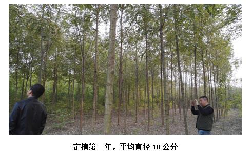 泓森槐的速生性状 泓森槐在满足其生物学生态学特性条件下,第一周年苗图片