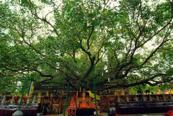 菩提迦耶的菩提树 国家西藏网 图