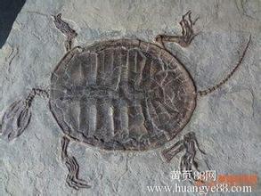 猛犸象牙化石图片_辽西鱼化石价格 鱼化石 艾青 最能体现鱼化石_龙太子供应网
