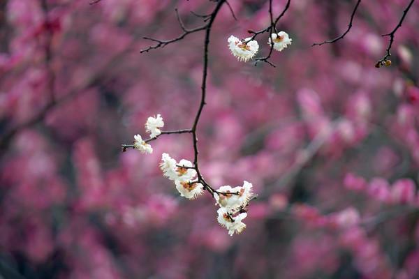 梅落繁枝_寻常一样窗前月,才有梅花便不同
