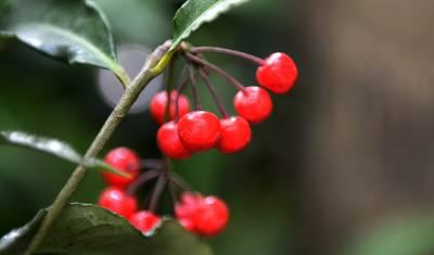 红豆树_二,红豆树,别名相思树