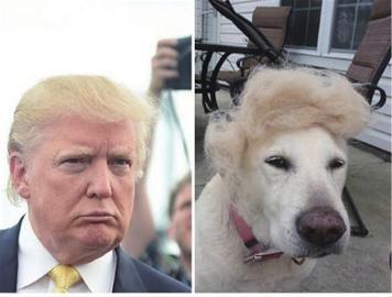 """据新华社电 许多爱宠人士会给毛茸茸的法宝做一个时髦的发型,照相发到交际网站上""""秀一秀""""。很多人注重到,比来美国共和党总统竞选人唐纳德・特朗普(又译川普)的""""一边倒""""发型日渐盛行,成为愈来愈多宠物客人的首选。"""