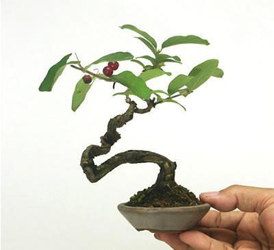 盆景 盆栽 植物 400_365图片