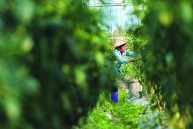 """大棚里,菜农正忙着采收。东园镇有近2000人""""田间工人"""",他们是种植大户争抢的""""香饽饽""""。"""