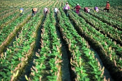 西兰花菜地里,农民正在用沟泥护苗、施肥。新的农业技术让东园镇的西兰花菜品质提升,产量增加,是农田里的主要作物。