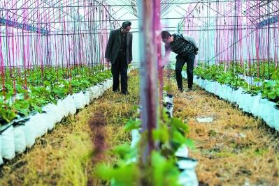 除了传统种植,东园镇的年轻人还搞起了以花生壳做基质的作物栽培,既环保又能减少病虫害。