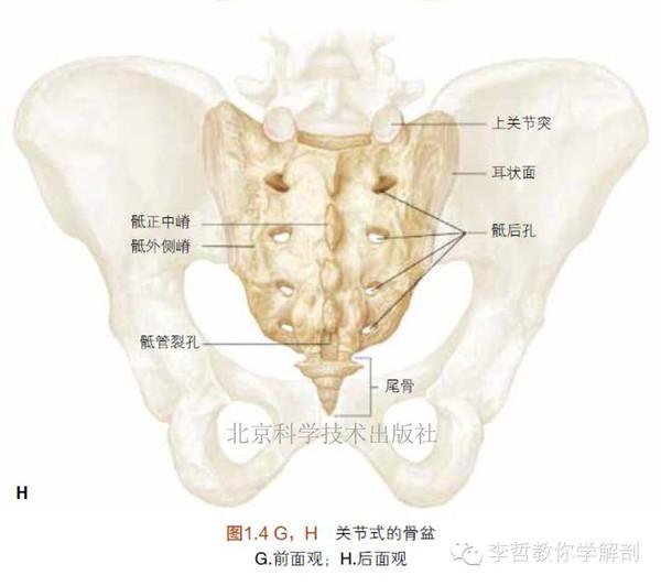 胸椎 腰椎 骶骨 尾骨的基础解剖学 LWW解剖学精要图谱剧透篇 三