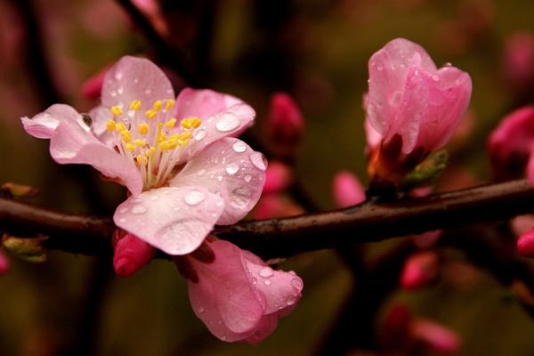 又是一年赏花时 彭州几大赏花地点分享-彭米网