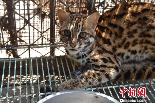 """云南野生动物园:豹猫玩失踪 串门""""找朋友"""""""