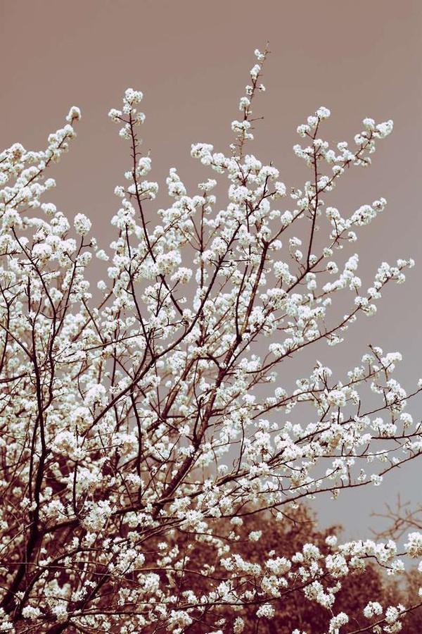 春风徐来,樱花自飘香 探秘白色唯美的川北沙河