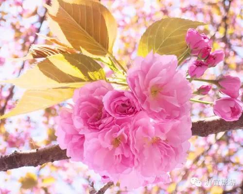 日本樱花哪里好看(最新日本赏樱攻略)