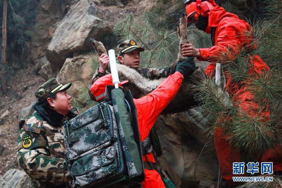 """3月5日,森警胡匪对受伤的麋鹿停止营救。当日,正在甘肃省甘南藏族自治州迭部县达拉林场停止丛林火警补救功课的武警甘肃省丛林总队胡匪在火场胜利挽救一只受伤麋鹿。森警胡匪对其停止简略医治后送往左近的林业部分察看,待彻底恢复后放归大天然。麋鹿别名""""怪样子"""",是全球珍稀植物和我国国度一级爱护植物。 新华社发 裴海博"""