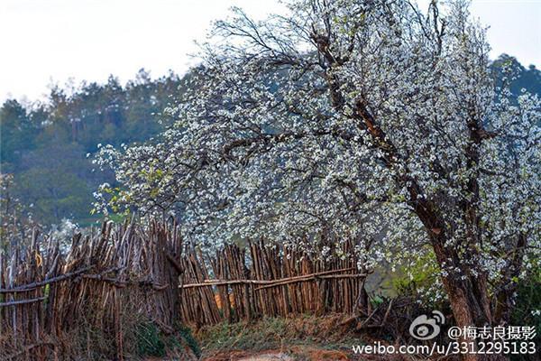 ▏云南12种梨花美景的打开方式