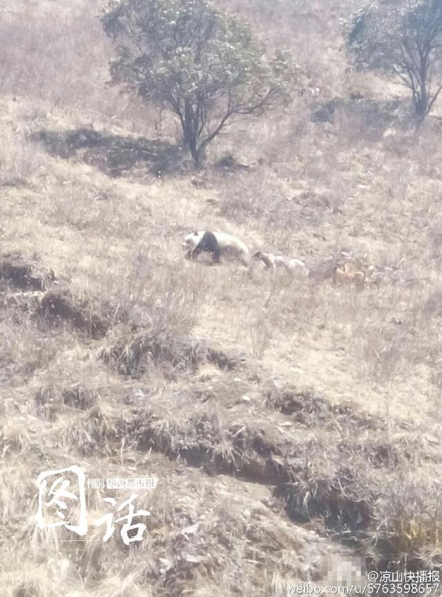 中新社成都3月7日电 记者7日从四川省凉山彝族自治州越西县林业部分得悉,一只大熊猫于6日午时出如今该县南箐乡。其时,该只大熊猫正在被几只狗追逐,后在本地乡民的帮忙下得以脱身,安全前往丛林。