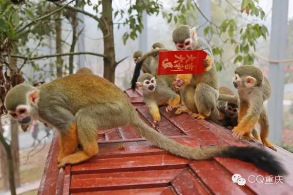 龙坡园中饲养有猴子供游人观赏,图上是今年过年的时候饲养员给图片