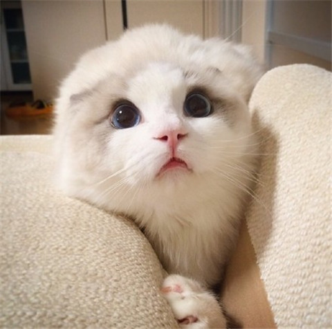 猫界颜值担当 感受一下这盛世容颜吧
