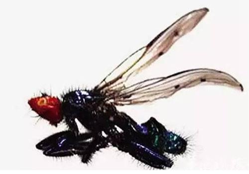 左边这些微小的介于节肢动物和软体动物之间的动物实球共生虫(symbion