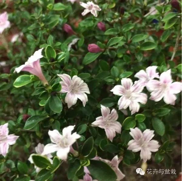 ...乔木树形花纯白重瓣观赏性好点.   有关变种   四、常见的...