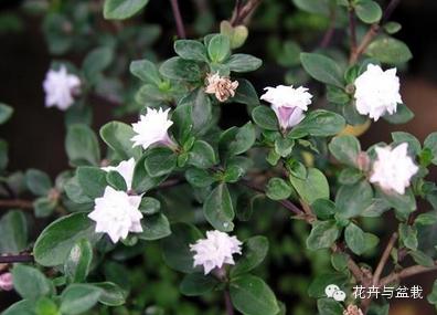 【绿植盆景】六月雪,花轻妙舞,美哉!