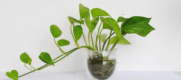 萝营养液_适合室内养的水培植物,有水就很好活!
