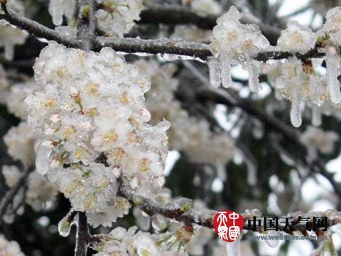 广西资本前期春意盎然的春花被冻住。