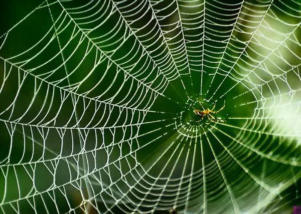 给蜘蛛喂食石墨烯后 其吐出的蜘蛛丝韧性提升10倍