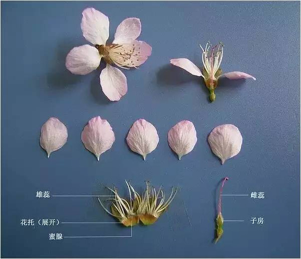 总结一下 1 李亚科(含李属,桃属,杏属,樱属) 花朵基本结构图 2 根据