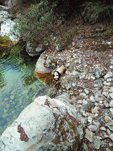 华商报汉中讯(记者 王亮 通讯员 胡贵军)春季,野生大熊猫已开始频繁活动了。3月9日,佛坪县岳坝镇大古坪村村民何义军,遇到一只野生大熊猫在河道边喝水,他立刻用手机记录下了这一珍贵画面。