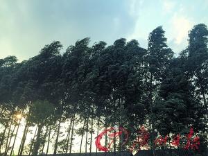 桉树的身影在佛山不少地区都可以看到。