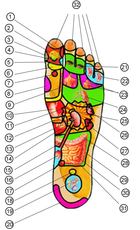 人体各脏器分布�_从而从足掌及足的内外侧,就可找到与人体脏器,四肢相对应的解剖部位