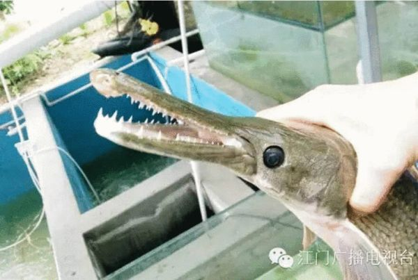 梁先生表示,鱼嘴有点像鳄鱼的嘴。