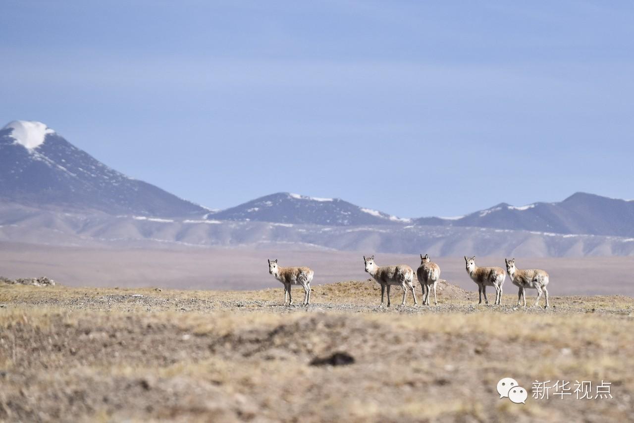 2016年3月11日,在可可西里地区拍摄的藏羚羊。新华社记者吴刚摄