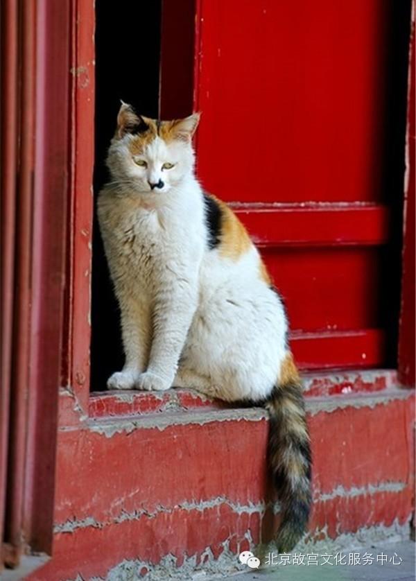 故宫中的猫(图片来自网络)