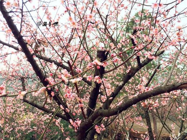 昆明黑龙潭的古树和梅花同样耐看