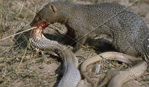 梦见狗把蛇咬死了