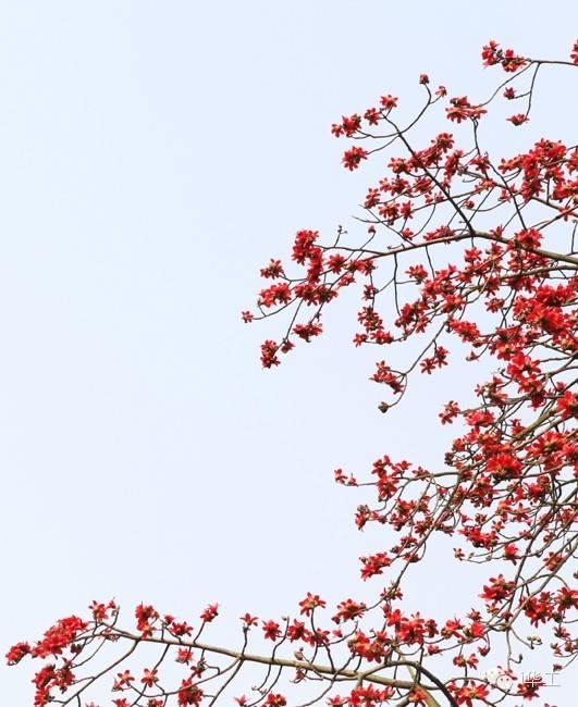 三月,木棉花开