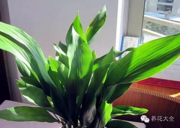 叶面革质较厚的大多属于耐阴的花卉,如一叶兰,橡皮树,兰花,君子兰等.图片