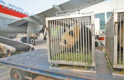 """猫咪近亲繁殖两只大熊猫在洛阳安家 """"滚滚""""将萌化洛阳市民"""