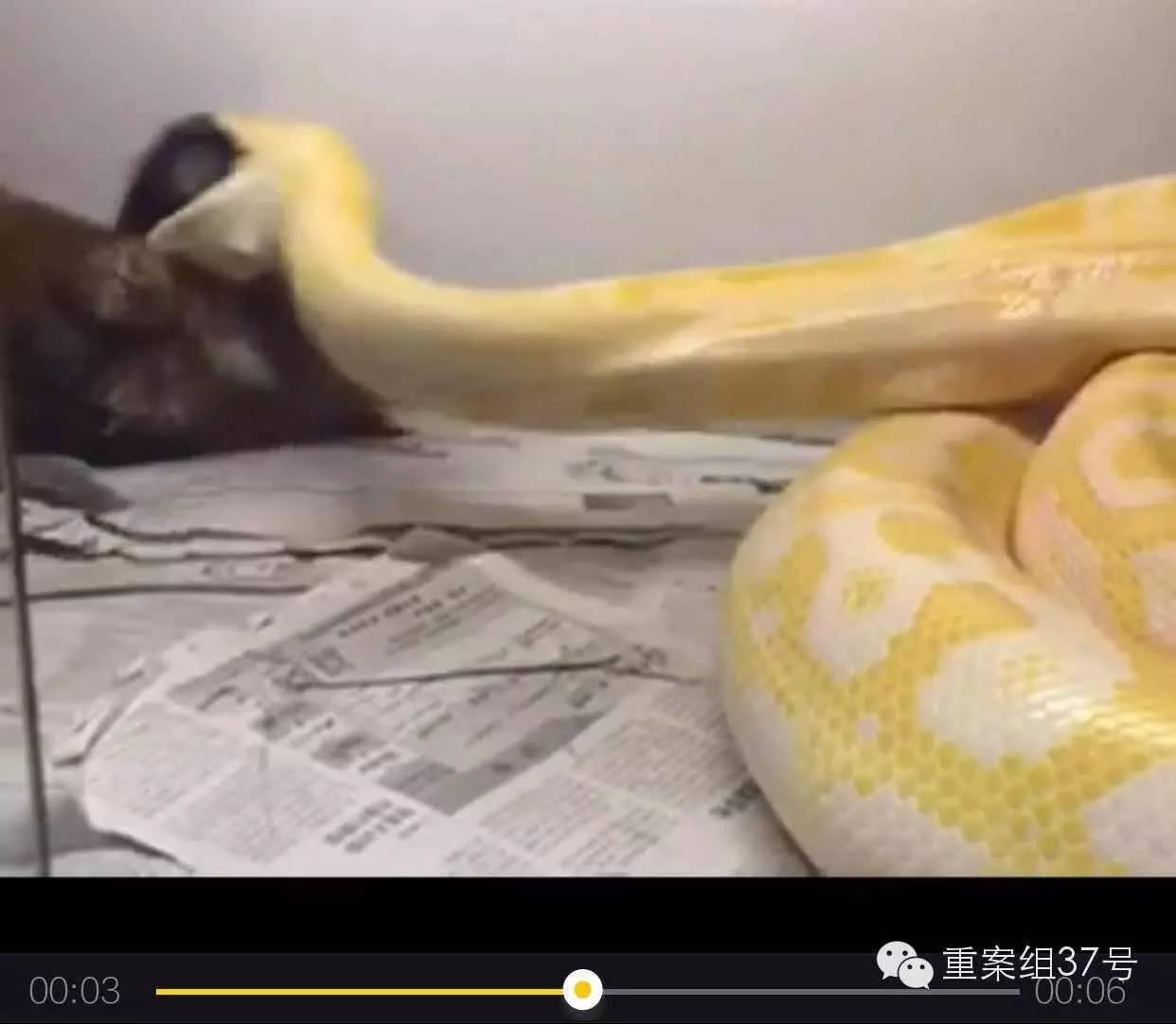 """""""黄金蟒吞小狗""""视频犯众怒,养这种大蛇要坐牢你造吗?"""