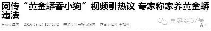 """""""黄金蟒食肉,平时以野外动物为食。""""中科院动物研究所副研究员解焱向重案组37号(微信ID:zhonganzu37)探员介绍,黄金蟒为外来物种,由《国际濒危物种贸易公约》(CITES)管束,属于附录二物种,相当于国家二级保护动物。"""