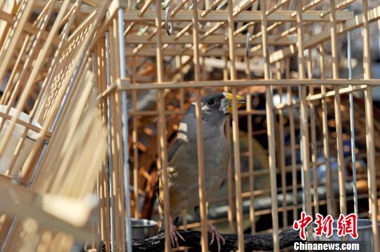 被查获的鸟笼及捕鸟器具装满了一辆皮卡车。 孙昊声 摄