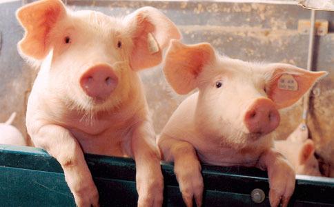 """猪价""""任性""""上涨5成多"""