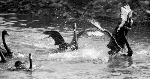 3月21日,长白岛森林河滩公园的50余只黑天鹅,白天鹅度过漫长的冬季