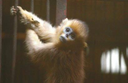 团伙盗卖金丝猴小熊猫 血水满地滴到楼下
