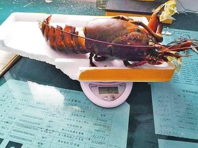 原本4斤4两重的龙虾,回家一称,才920克。