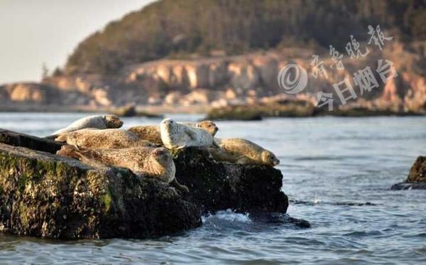 辽东湾斑海豹_超可爱!烟台长岛海域迎来今年首批洄游斑海豹(组图)-搜狐滚动