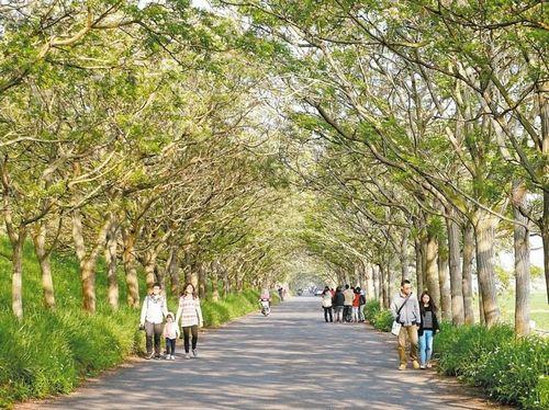 """六脚乡湾北村的""""苦楝隧道""""既浪漫又美丽,近日吸引不少游客前往拍照、观赏。来源 台湾《联合报》"""