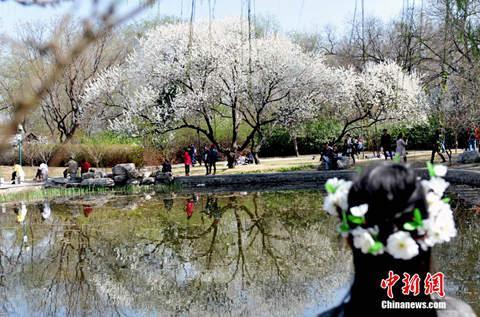 3月30日,北京最有名的赏樱胜地玉渊潭迎来了樱花最佳观赏期。