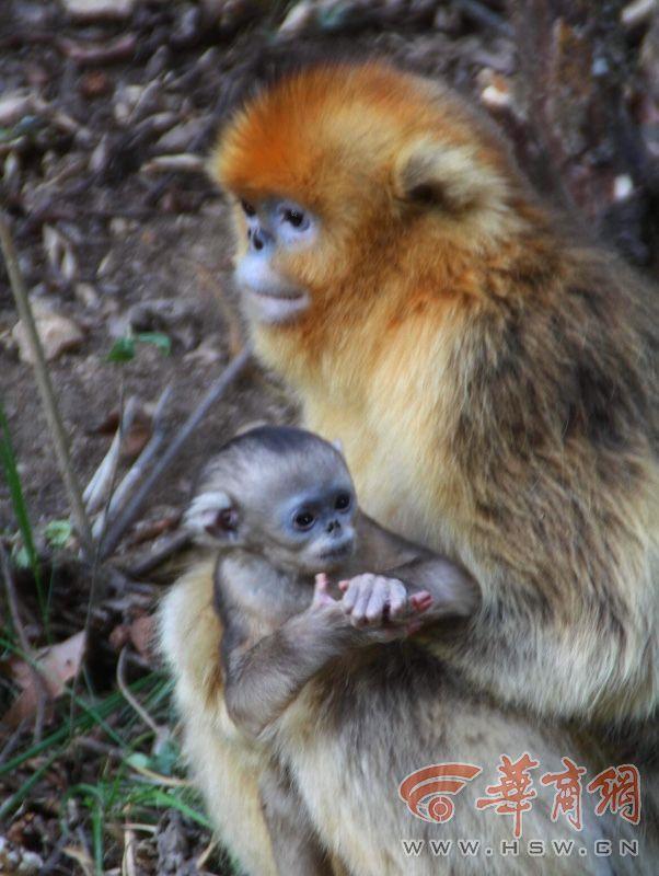 """在熊猫谷景区,看到一只只野生金丝猴正在树上、草地上闹腾,毛色灰白的小猴在枝头荡秋千、""""倒挂金钟"""",成年金丝猴有的独自觅食,有的互相理毛,金黄的毛色沐浴着春光分外艳丽。一只年轻的母猴怀抱着一只小猴,或坐在枝头小憩,或下地游走,时不时有猴子围上去,争相搂抱小猴,小猴俨然猴群的新宠,这就是今年新生的第一只猴宝宝,只见它睁着纯净的大眼睛看着四周,灰白的毛色中夹杂着少许黑毛,粉红的小手笨拙地抓着母亲,懵懂可爱、令人爱怜。对哺乳期的母猴和半大的小猴,景区会适时饲喂玉米、苹果等给它们""""开小灶"""",帮助增加营养和体能。"""